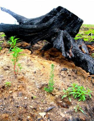 Artisan - stump